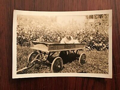 Antique Snapshot Adorable Puppy in Old Wooden Wagon Photograph 1910 Dog Flowers