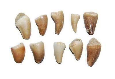 ENCHODUS Fish Tooth Fossil Dinosaur Age 1//2 to 1 1//2  inch lot of 10 #14055 4o