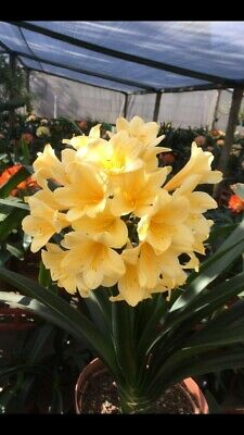 1x Clivia m. 'African Yellow' 1.5 Year Old Plant. UK National Collection Holders