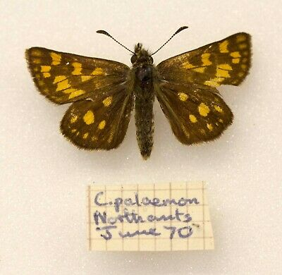 Chequered Skipper - One Of The Last Specimens From Northants 1970