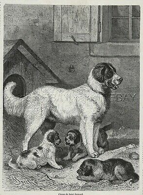 Dog St. Saint Bernard & Puppies Large 1870s Antique Engraving Print & Article