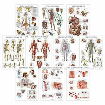 10 Pack - Anatomical Poster Set - Laminated - Muscular, Skeletal, Digestive,