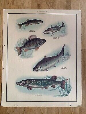 Vintage Original MacMillan's Nature Art Poster Freshwater Fish Trout Pike Perch