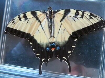 Real Swallowtail Butterfly unmounted in plastic case - Papilionidae Papilio