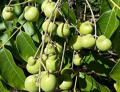 25 Sapindus mukorossi Seeds and Wash Nut. Soap Berryy Washnut Soapberry Soapnut Tree Seeds Soap Nut