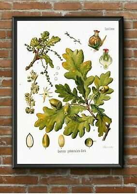Vintage Kohler English Oak Tree Botanical Poster Print A3 A4 A5 Kitchen Wall Art