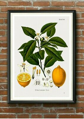Vintage Lemon Botanical Illustration Poster Print - A3 A4 A5 - Kitchen Wall Art