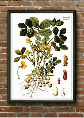 Vintage Peanut Botanical Illustration Poster Print - A3 A4 A5 - Kitchen Wall Art