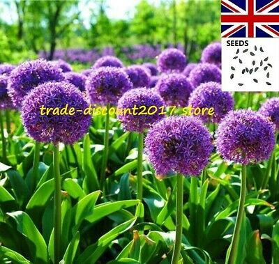 20 Seeds of Purple Giant Allium Giganteum. UK SELLER