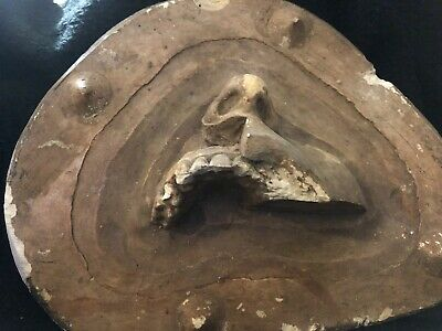 Antique Plaster Anatomical Model Master Mold Nose Teeth Maxilla