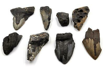 Megalodon Teeth Lot of 10 Fossils w//10 info Cards Shark #15699 26o