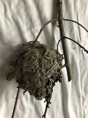 Small Paper Wasp Nest Hive Bee Branch Real