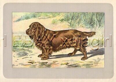 DOG Sussex Spaniel, Rare Antique 100-Year-Old French Dog Print