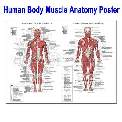 Human Body Muscle Poster Anatomy System Anatomical Chart Educational Poster AUS