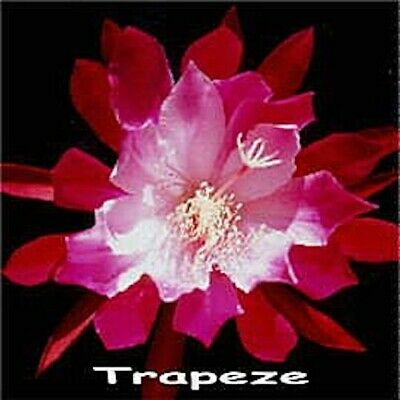 Epiphyllum Trapeze (Very Floriferous)  Rooted Plant