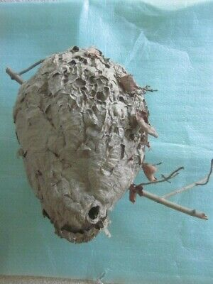 Vintage - Large Paper Wasp Nest On Maple Tree Branch