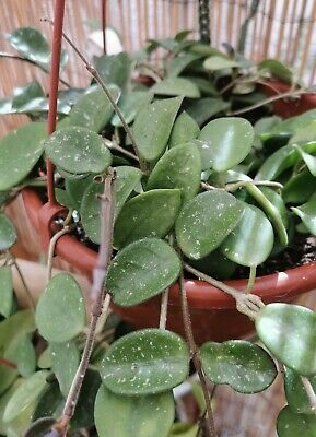 HOYA MATHILDE 1 X Unrooted Cutting Live Wax PLANT Esqueje