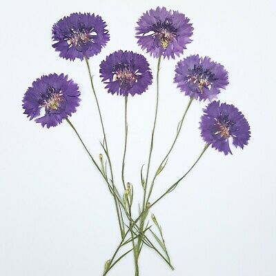 Pressed Dried Real Edible Flowers Cake Topper - 6 Purple Cornflowers with Stem