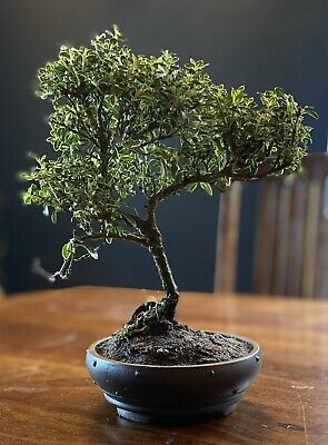 Variegated Serrissa Bonsai Tree Drip Tray And A Free 1 To 1 Bonsai Lesson Plants Seeds Bulbs Indoor Plants