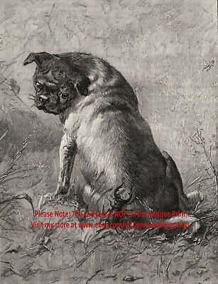 Dog Pug Fawn Colored Surprised by Insect Stag Beetle, 1890s Antique Print