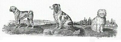 DOG Pug, Spaniel, Shock Dogs As Breed Looked 200 Years Ago, 1820 Engraving Print