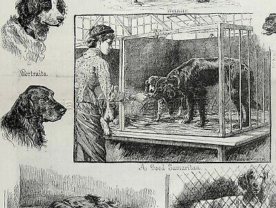 Dog Show Sketches Pug Pointer Flat-Coated Retriever, Large 1880s Antique Print