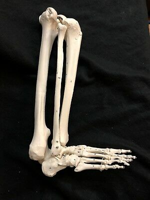 3B Scientific Spare Numbered leg for A11 Skeleton Anatomical Model Anatomy