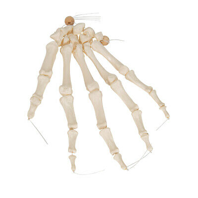 3B Scientific Left Human Hand Skeleton Model Loosely on Nylon String Anatomical