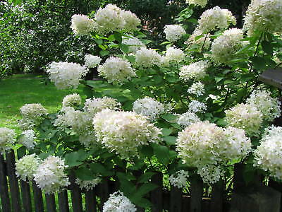 rispenhortensie hortensie hydrangea paniculata phantom 60. Black Bedroom Furniture Sets. Home Design Ideas