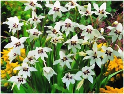 35 Peacock Orchids Gladiolus Callianthus 5/6Cm Spring Planting Gardening Bulbs