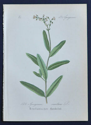 Antique Old Flower Botanical Print 1884 European Dogbane Luobuma Apocynum Venetu