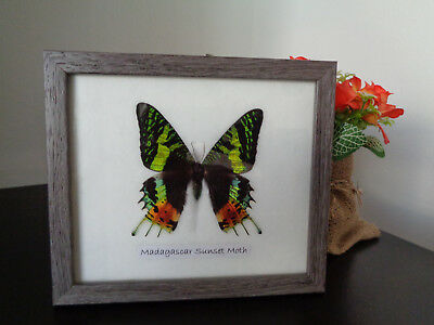 Real Butterfly Madagascar Sunset Moth Framed Display Taxidermy Lepidoptera
