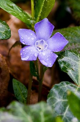 Ground Cover Plants Vinca Periwinkle Myrtle Purple Flower Rooted live Plants