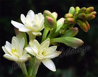 Fragrant Polianthes Tuberosa The Pearl Summer Gardening Bulb Corms White Flower