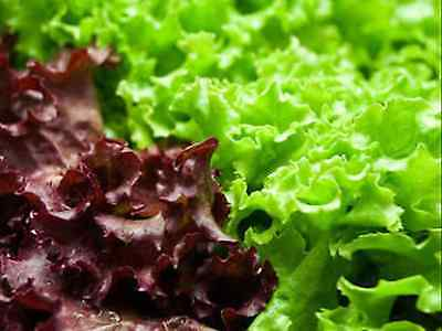 Red/green lettuce seeds (approx 250 seeds)