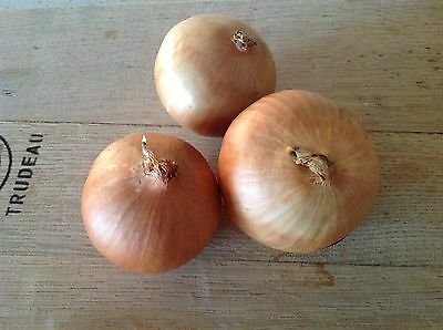 Onion Seeds Hunter Brown ( Approx 200 Seeds)