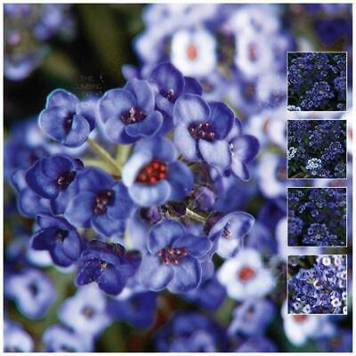 """ALYSSUM """"Moody Blues™"""" Seeds. Unique mauve BLUE variety, with FREE Postage!"""