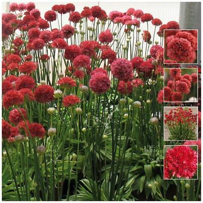 "ARMERIA ""Kai Hybrid Red™"" seeds. RED Agapanthus like heavy flowering perennial!"