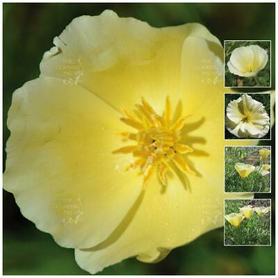 """California POPPY """"Lemon Drops"""" seeds. Rare yellow scented flowers, compact plant"""