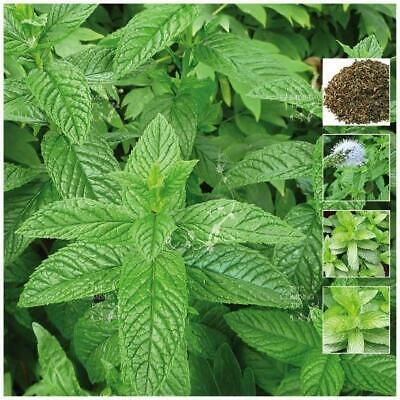 "MINT ""Spearmint LXR™"". Seeds of premium herb variety suitable for tea & cooking."