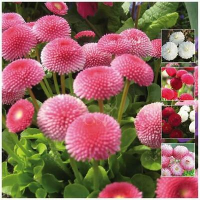 """BELLIS """"Symphony Double Mix"""" seeds. Double pink, red & white flowers. Perennial!"""