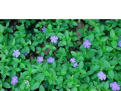 Periwinkle Myrtle Purple Flower Ground Cover hanging baskets,window box Plants