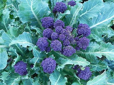 "Broccoli Seeds ""purple Sprouting"" (Approx 100 Seeds)"
