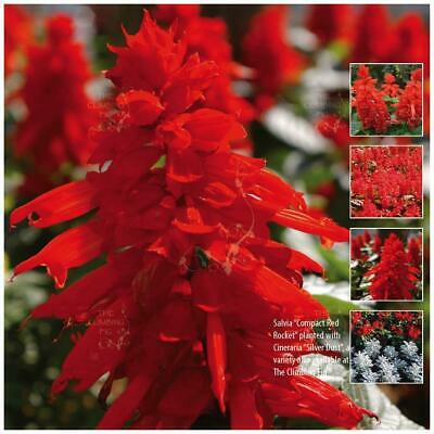 """SALVIA """"Compact Red Rocket"""" seeds. Compact fast growing plant, with red flowers."""