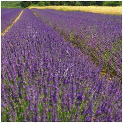 """LAVENDER """"Truer than True™"""". Premium (compact) landscaping variety. Free P&H!"""
