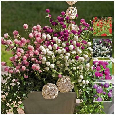 "GOMPHRENA ""Buddy Mix"" seeds 