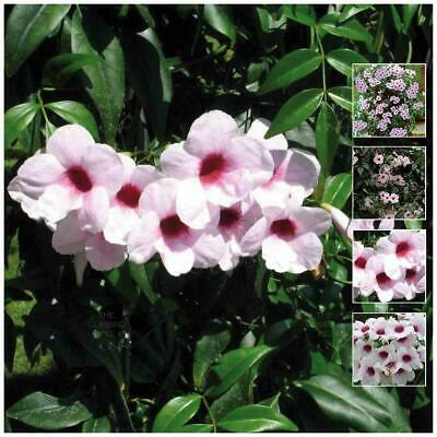 "PANDOREA ""Pink Jasminoides"" seeds. Bower of Beauty, native evergreen jasmine."