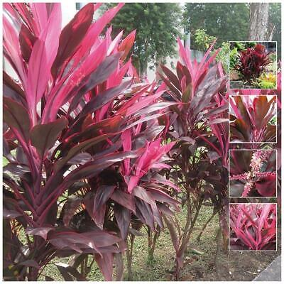 "CORDYLINE ""Lipstick Rubra™"" seeds. Wide strappy pink-purple leaves. Hardy plant."