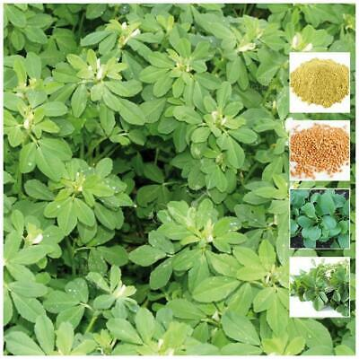 """FENUGREEK """"Herb"""". Seeds of aromatic medicinal herb variety. Great curry flavour."""