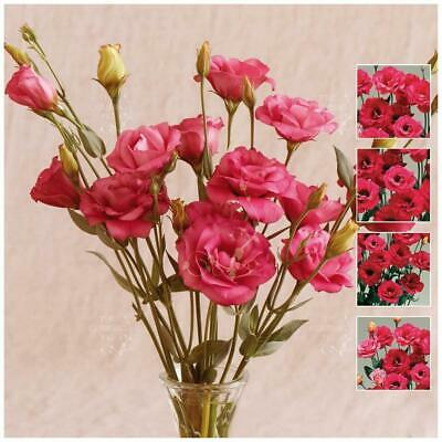 "LISIANTHUS ""Red of Purple™"" pelletised seeds. New variety semi-double flowers."